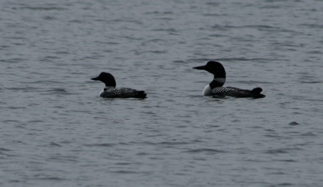 Common Loons on Harvey's Lake